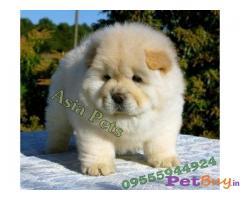CHOW CHOW Puppies for sale at best price in Delhi