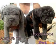 NEAPOLITAN Mastiff Puppies for sale at best price in Delhi