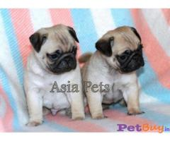 PUG Puppies for sale at best price in Delhi
