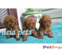 POODLE Puppies for sale at best price in Delhi