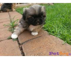 PEKINGESE  Puppies for sale at best price in Delhi