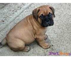 BULLMastiff Puppies for sale at best price in Pune
