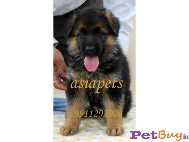 German Shepherd Puppies For Sale At Best Price In Pune