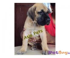 GREAT DANE   Puppies for sale at best price in Pune
