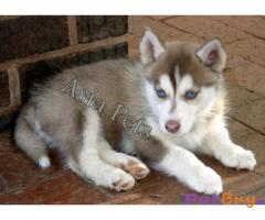 SIBERIAN HUSKY  Puppies for sale at best price in Pune