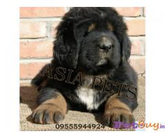 TIBETAN Mastiff Puppies for sale at best price in Pune