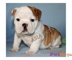 BULLDOG  Puppies for sale at best price in Mumbai