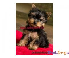 ❄❄  ASIA PETS ❄❄  Yorkshire terrier PUPPIES FOR SALE --