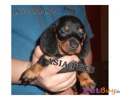 Dachshund  Puppies for sale at best price in Mumbai