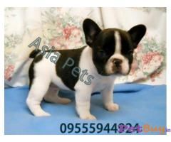 French Bulldog   Puppies for sale at best price in Mumbai