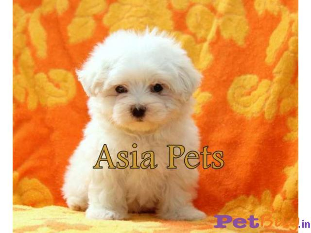Maltese Puppy For Sale At Best Price In Chennai