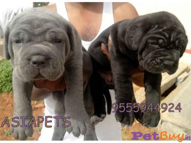Neapolitan Mastiff Puppy For Sale At Best Price In Chennai