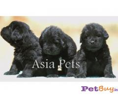 NEWFOUNDLAND Puppy for sale at best price in Chennai