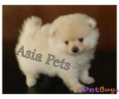 POMERANIAN Puppy for sale at best price in Chennai