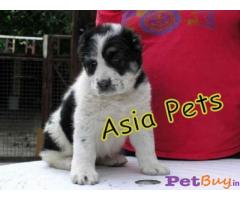 ALABAI Puppy for sale india
