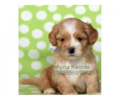 Lhasa Apso Puppies For Sale At Asia Pets