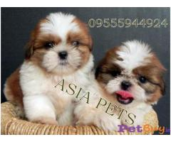 ❄❄  ASIA PETS ❄❄  Shih Tzu PUPPIES FOR SALE