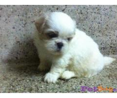 ❄❄  ASIA PETS ❄❄  Tibetan Spaniel PUPPIES FOR SALE --