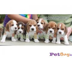 ❄❄  ASIA PETS ❄❄  Beagle PUPPIES FOR SALE