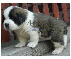 Saint Beranrd Puppies For Sale At Asia Pets