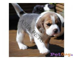 BEAGLE Puppy for sale india