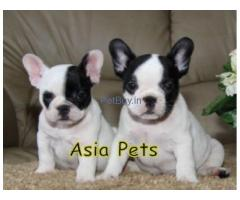 French Bulldog Puppies For Sale At Asia Pets