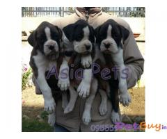 BOXER Puppy for sale india