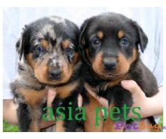 BEAUCERON Puppy for sale india