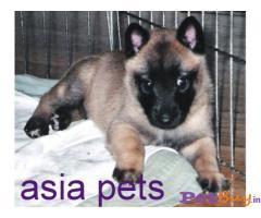 BELGIAN SHEPHERD Puppy for sale india
