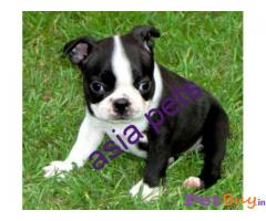 BOSTON TERRIER Puppy for sale india