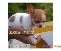 CHIHUAHUA Puppy for sale india