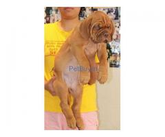French Mastiff Pup Price In Ahmedabad | French Mastiff Puppy Price In Ahmedabad