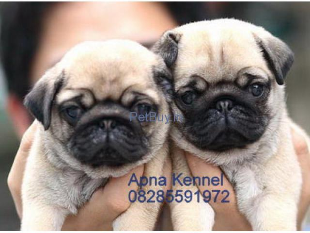 Pug Pup Price In Ahmedabad Pug Puppy Price In Ahmedabad
