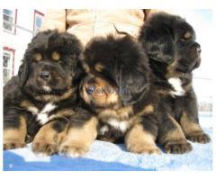 Tibetan Mastiff Pup Price In  Andhra Pradesh | Tibetan Mastiff Puppy Price In  Andhra Pradesh