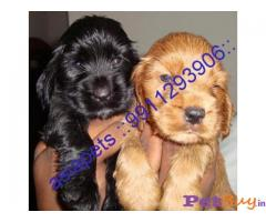 COCKER SPANIEL Puppy for sale india