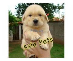 Golden Retriever Pup Price In Delhi | Golden Retriever Puppy Price In Delhi