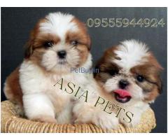 Shih Tzu Pup Price In Delhi | Shih Tzu Puppy Price In Delhi