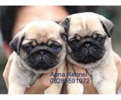 Pug Pup Price In Goa | Pug Puppy Price In Goa