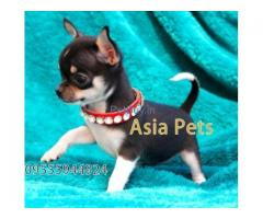 Chihuahua Pup Price In Gurgaon | Chihuahua Puppy Price In Gurgaon