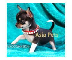 Chihuahua Pup Price In Haryana | Chihuahua Puppy Price In Haryana