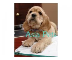 Cocker Spaniel Pup Price In Haryana | Cocker Spaniel Puppy Price In Haryana